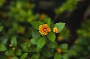 Ilima flower, Hawaii<br />
