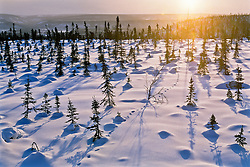 Winter sun along the treeline near the Arctic Circle in North Yukon
