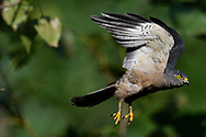 Chinese Sparrowhawk, Accipiter soloensis, flying Guangshui, Hubei province, China