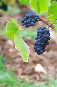 Bunches of ripe grapes. Pinot Noir. Clos des Langres, Domaine d'Ardhuy, Corgoloin, Cote de Nuits, d'Or, Burgundy, France