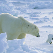Polar bear (Ursus maritimus) adult confronts an Arctic Fox that has feen following and scavenging. Canada