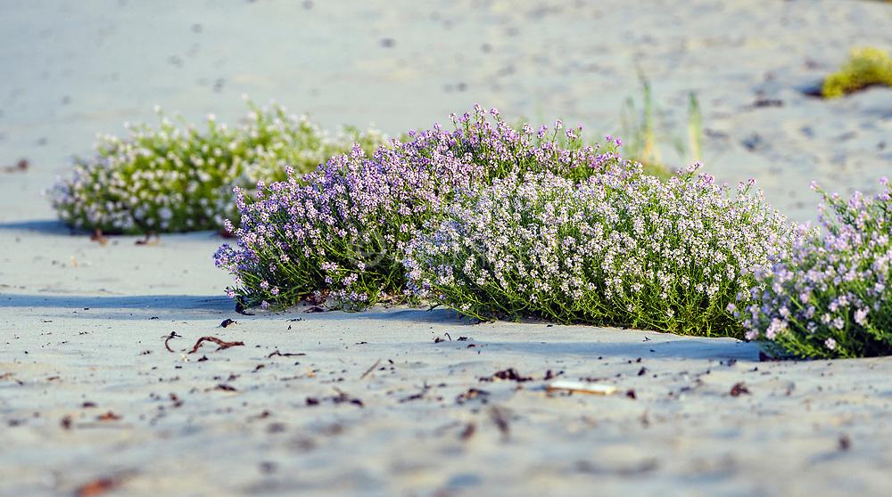 European searocket (Cakile maritima) growing in sand at revtangen (Rogaland, western Norway) in September.