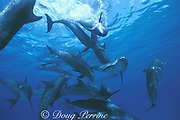Atlantic spotted dolphins, Stenella frontalis, socializing, Little Bahama Bank, Bahamas, Little Bahama Bank, Bahamas ( Western Atlantic Ocean )