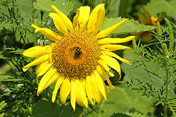 A small honey or bumble bee gathers nectar or pollen from Helianthus or sunflowers L. is a strain of plants comprising about 70 species in the family Asteraceae.  These were found at Matthiessen State Park near Utica Illinois.