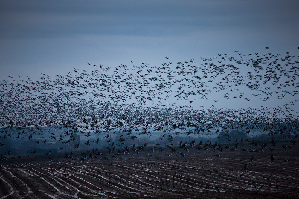 Big flock of Pink-Footed Geese in the sky at sundown over fields by the Holkham saltmarshes, North Norfolk, England