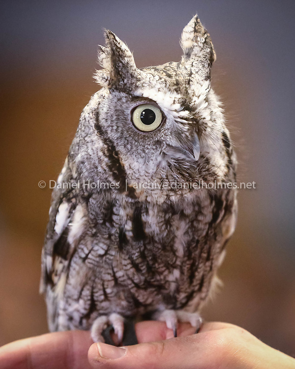 (3/18/17, WESTBOROUGH, MA) Mark Wilson, of Eyes on Owls, shows a Screech owl to spectators during a program sponsored by Westborough Community Land Trust at the Knights of Columbus Hall in Westborough on Saturday. [Daily News and Wicked Local Photo/Dan Holmes]