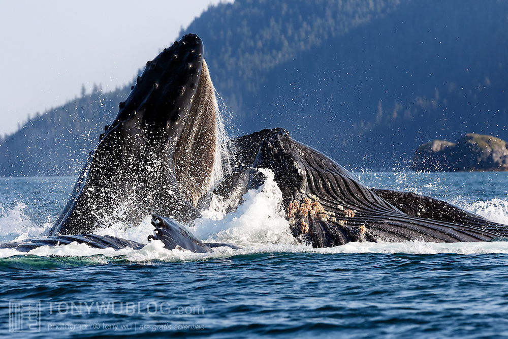 Clear view of baleen in the mouth of a humpback whale (Megaptera novaeangliae) engaged in bubble net feeding in Alaska. Also visible on the lower jaw of another whale are Coronula diadema hard acorn barnacles and Conchoderma auritum gooseneck barnacles.