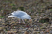 Herring gull eating a shore crab at Chanonry Point, in the Moray Firth, having just broken it open.