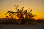 Camel Thorn Acacia tree (acacia erioloba) at sunset alongside a dune in Sossusvlei, Namib-Naukluft National Park, Namibia, Southern Africa.