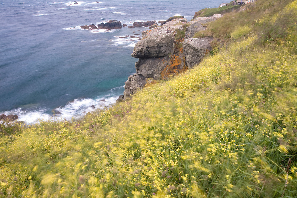 Black Mustard - Brassica nigra blowing in the wind on the cliffs below Lizard Lighthouse, Cornwall