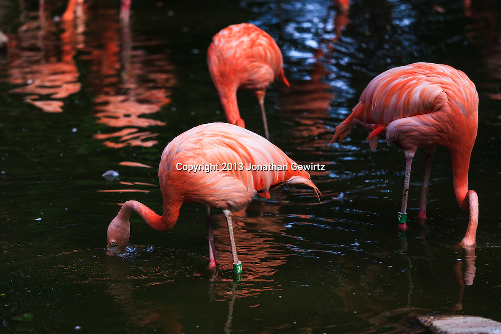 Pink flamingos (Phoenicopterus ruber) filter feeding in the Denver, Colorado zoo. WATERMARKS WILL NOT APPEAR ON PRINTS OR LICENSED IMAGES.