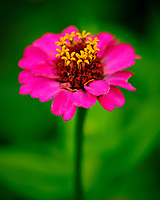 Pink Zinnia flower. Image taken with a Fuji X-T3 camera and 80 mm f/2.8 OIS macro lens