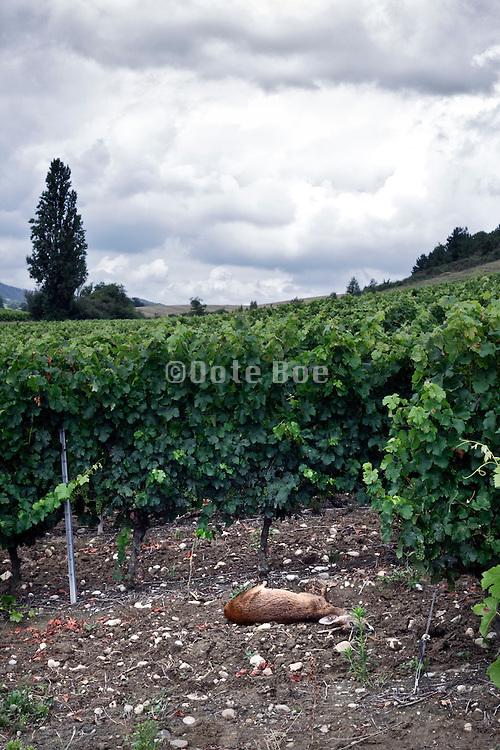 dead dear in vineyard