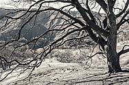 Burnt tree on Highway 150, in Ojai, California. ©CiroCoelho.Com. All Rights Reserved.