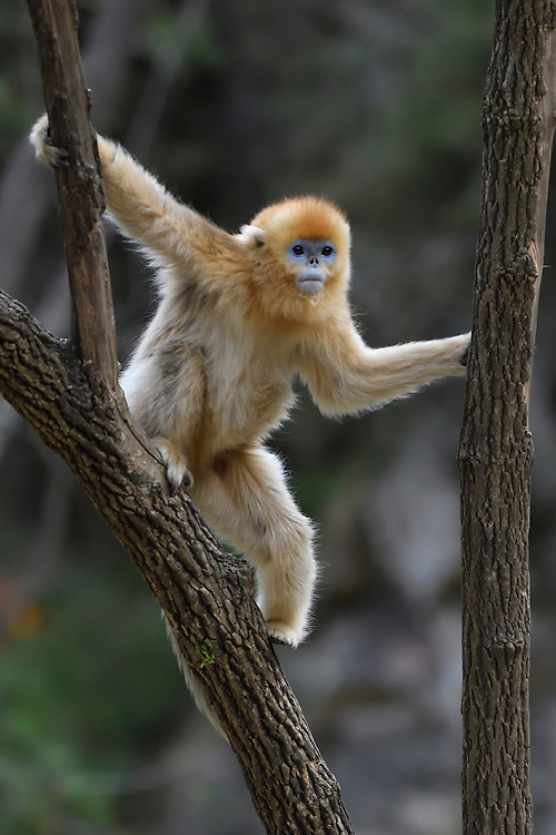 Golden Snub-nosed Monkey, Rhinopithecus roxellana, climbing a tree in Foping Nature Reserve, Shaanxi, China