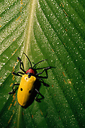 Rain Forest Beetle<br />Amazon Rain Forest, ECUADOR.  South America