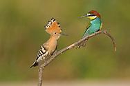 Hoopoe Upupa epops and Bee-eater Merops apiaster