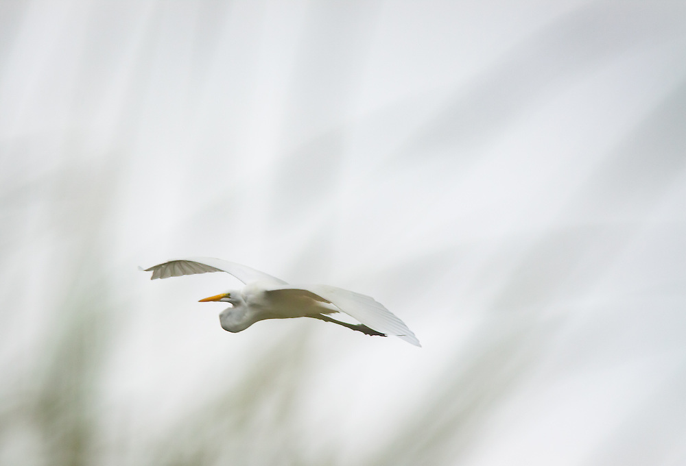 An egret fies over the upper reaches of the May River near Bluffton, SC.