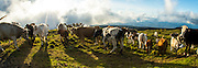 Cows graze near in an alpine meadow near the summit of Pico Mountain in Pico Island, Azores, Portugal, North Atlantic Ocean.