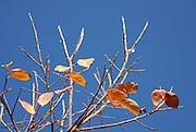 Israel, Persimmon trees in a plantation close-up of the leaves Winter December 2007