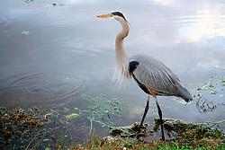 Ward?s heron, Ardea herodias wardi, .a rare subspecies of great blue heron, .Royal Palm, Everglades National Park, .Florida
