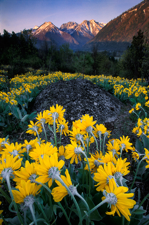 Balsamroot wildflowers, morning light, April, Alpine Lakes Wilderness peaks in the distance, Leavenworth, Washington, USA