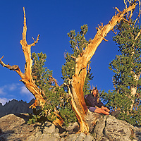 A hiker sits under a wind-twisted whitebark pine in Big Pine Canyon in California's Sierra Nevada. Two Eagles Peak, part of the Palisade Crest, rises in the background..