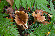 Ferns frame trumpet chanterelle (Cantharellus tubaeformis) mushrooms growing on the moist hardwood forest floor of the Allegheny National Forest in Warren County, Pennsylvania.