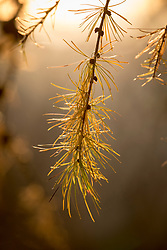Foliage of Larix decidua, European larch, in autumn colour.