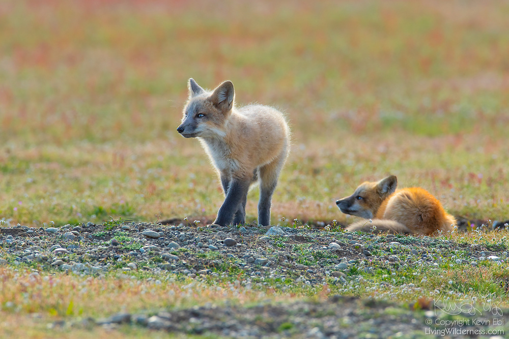 A pair of young red fox kits (Vulpes vulpes) look out from their den in San Juan Island National Historical Park in Washington state. While red foxes are widespread, found across much of the Northern Hemisphere, they were introduced to San Juan Island in the early 1900s in an attempt to control the population of European rabbits, which were also introduced to the island.