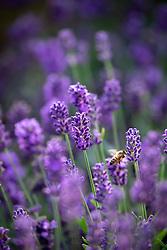 Bee on Lavandula angustifolia SuperBlue. Lavender