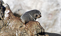 New Zealand fur seal which breed along the coastline at Kaikoura, South Island, New Zealand. They are a protected species. 201004105271..Copyright Image from Victor Patterson, 54 Dorchester Park, Belfast, United Kingdom, UK. Tel: +44 28 90661296. Email: victorpatterson@me.com; Back-up: victorpatterson@gmail.com..For my Terms and Conditions of Use go to www.victorpatterson.com and click on the appropriate tab.