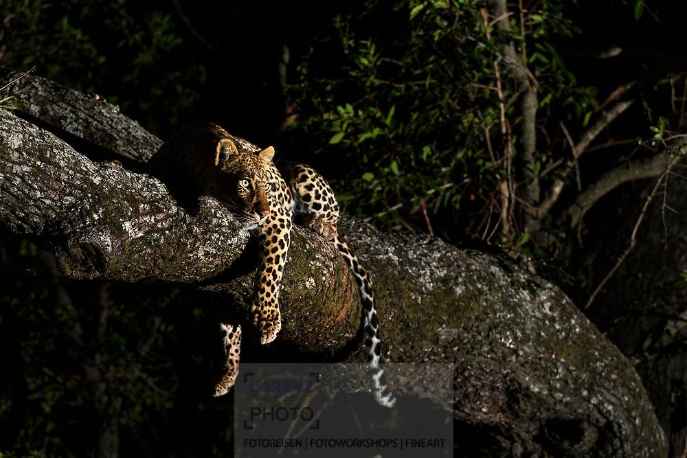 Eine Leopardin (Panthera pardus) auf einem Baum beobachtet sich nähernde Hyänen, Schutzgebiet Sabi Sands, Südafrika<br /> <br /> A female leopard (Panthera pardus) on a tree is watching approaching spotted hyenas, private game reserve Sabi Sands, South Africa