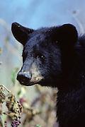 Black bear near pokeberries that he was eating.