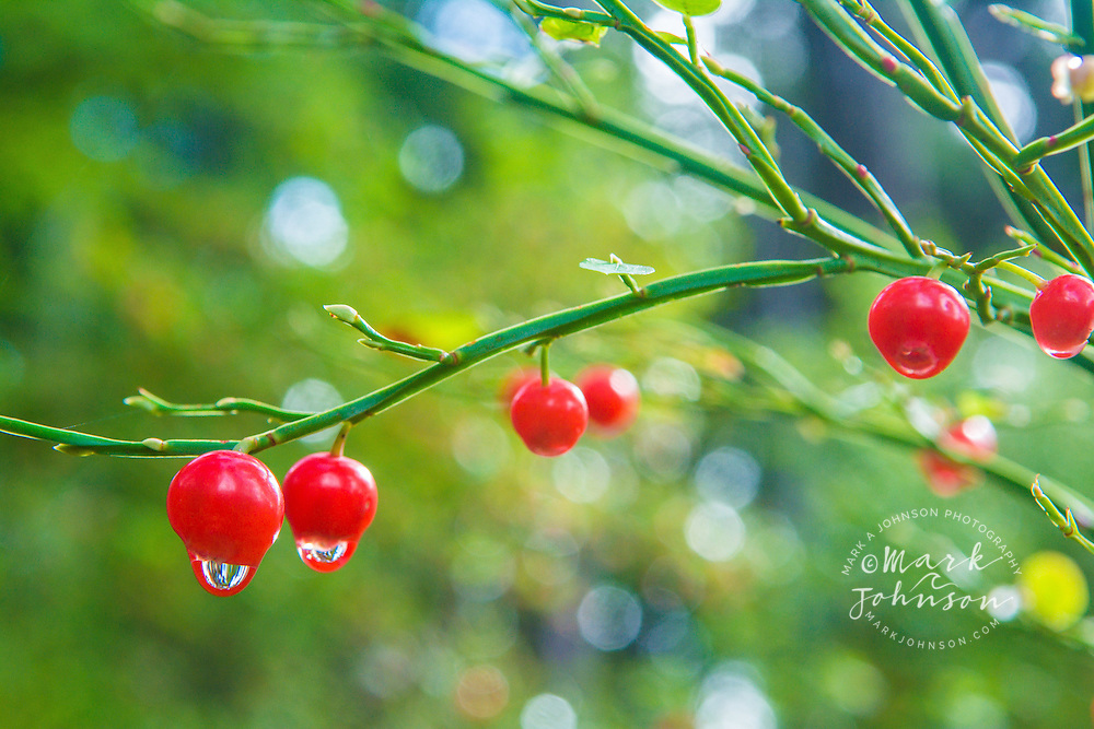 Ripe huckleberries in the forest, Tongass National Forest, Sitka, Alaska