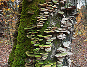 White fungus, green algae, and moss grow on a tree in Mammoth Cave National Park, in Edmonson County, Kentucky, USA.