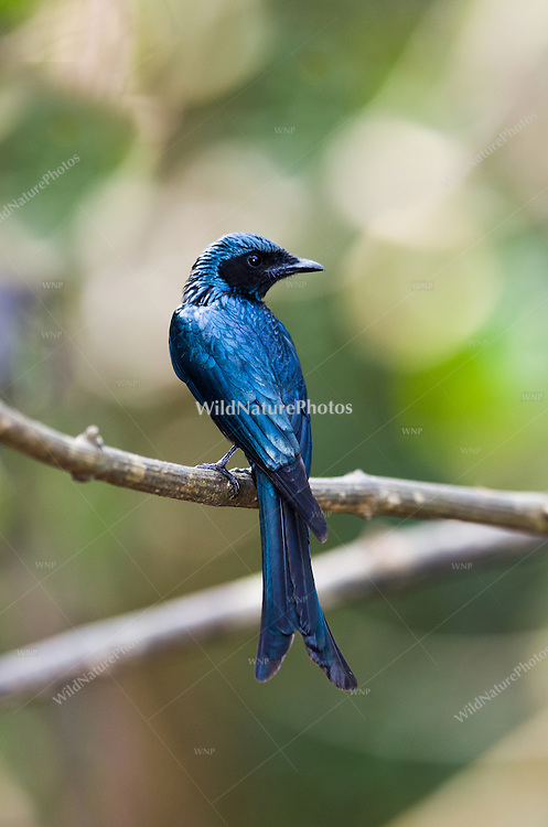 The mouhoti race of the elegant Ashy Drongo (Dicrurus leucophaeus) is all-black and breeds in northern Thailand. (Kaeng Krachan, Thailand)