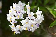 White flower,  Ile de Re, France