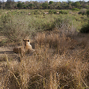 African lions resting. MalaMala Game Reserve. South Africa.