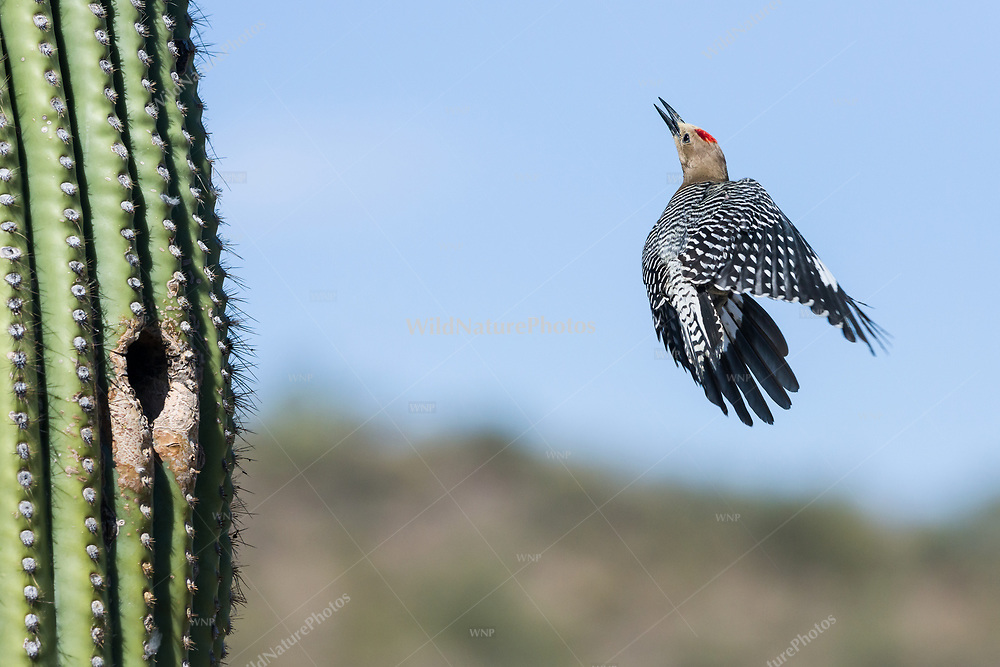 A male Gila Woodpecker (Melanerpes uropygialis) explodes out of a nest in a Saguaro (Carnegiea gigantea), flying up to the top of the Saguaro. Arizona