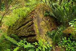 Cut Douglas fir log becomes one with the forest. Location: Quinault Rain Forest Trail, Olympic National Forest, Washington, US