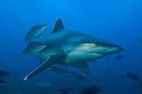 Silvertip Reef Shark and Rainbow Runners