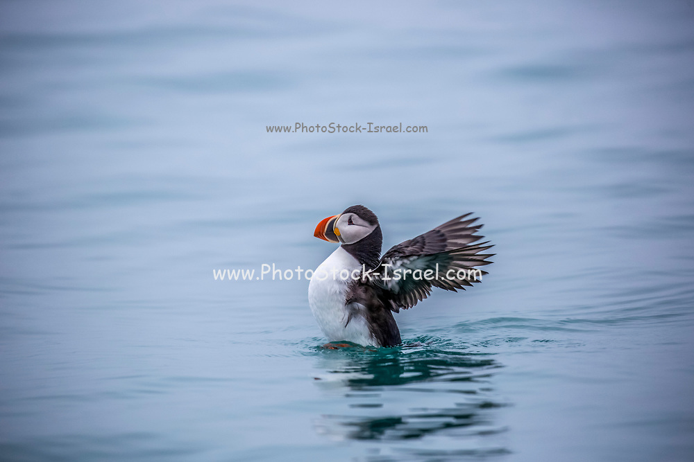 Atlantic puffin (Fratercula arctica) feed primarily on fish and breed on the coasts of northern Europe, the Faroe Islands, Iceland and eastern North America, although they spend the winter months at sea. They grow to 34 centimetres high and have distinctive orange bill plates, which are shed after breeding. Photographed in Spitsbergen, Svalbard, Norway