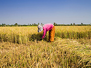 27 FEBRUARY 2015 - PONHEA LEU, KANDAL, CAMBODIA:  A woman hand cuts rice with a scythe in her paddies during the rice harvest in Kandal province, Cambodia. Kandal province is an agricultural province north of Phnom Penh.   PHOTO BY JACK KURTZ