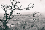 Trees on Dartmoor, Devon, processed to emulate wet plate technique.