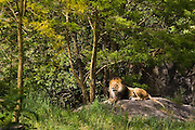 A male African lion (Panthera leo) lounges on a rock in a forested enclosure at the Woodland Park Zoo in Seattle, Washington.
