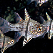Obicular Cardinalfish form small groups in shallow water, often in mangorves and under docks. Picture taken Raja Ampat, Indonesia.