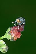 Cionus tuberculosus - a species of Weevil