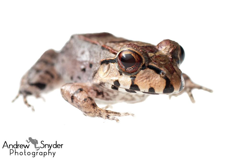 Knudsen's bullfrog, Leptodactylus knudseni, Kanuku Mountains, Guyana, July 2013