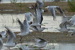 August 15, 2017 - Qingdao, Qingdao, China - Qingdao, CHINA-August 15 2017: (EDITORIAL USE ONLY. CHINA OUT) ..The Chinese crested terns can be seen at the Jiaozhou Bay Wetland in Qingdao, east China's Shandong Province. The Chinese crested tern (Sterna bernsteini) is thought to be possibly extinct and rarely be seen. (Credit Image: © SIPA Asia via ZUMA Wire)